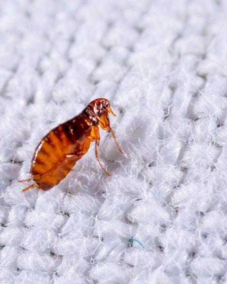 flea bug spray